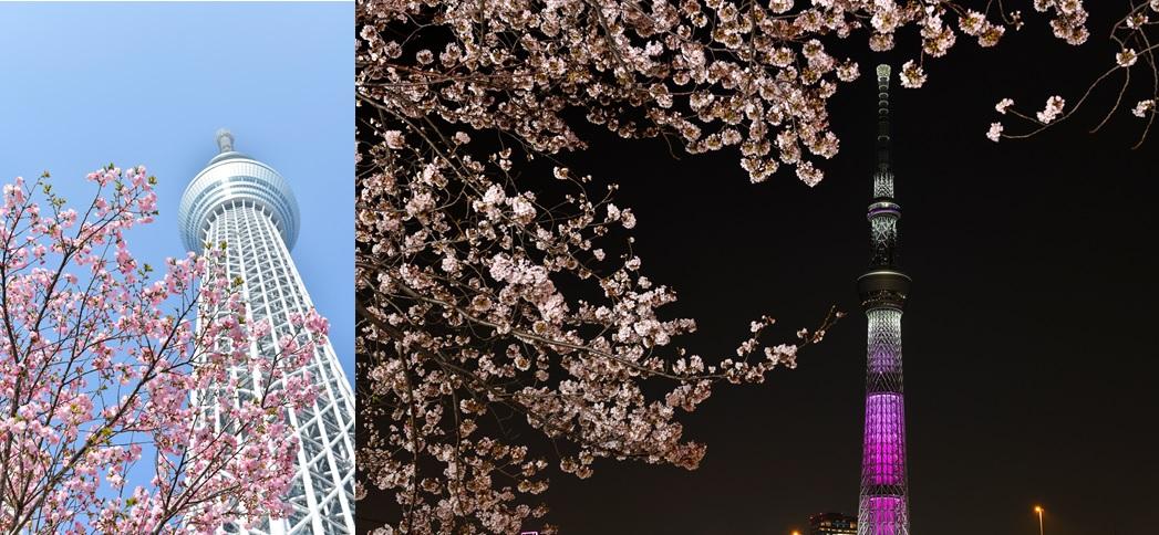 東京スカイツリー桜