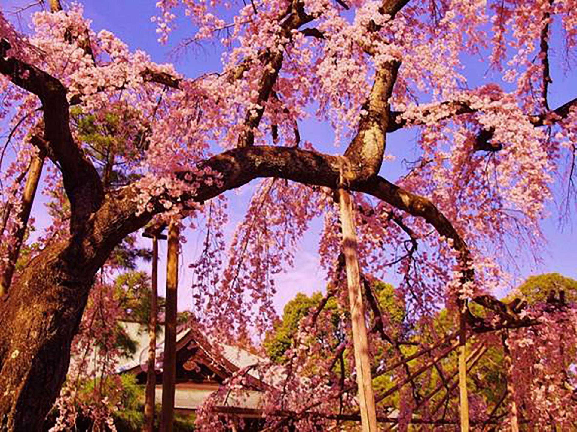 千葉県松戸のお花見スポット