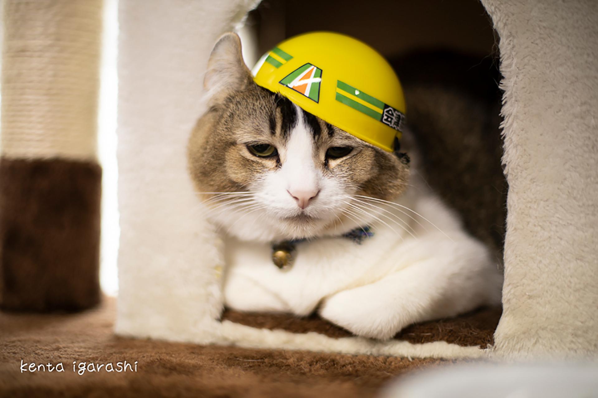 この写真は猫がヘルメットを被っているところ