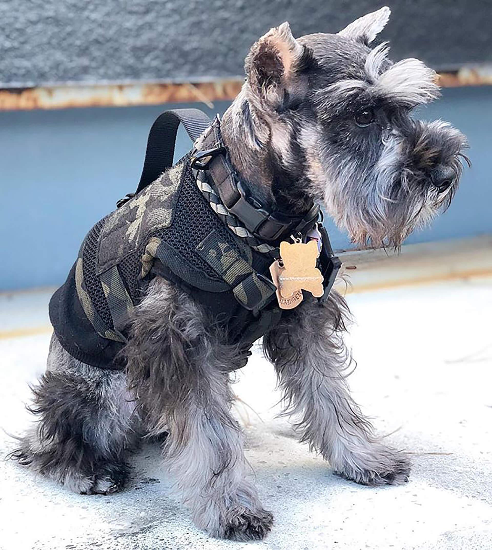 この写真は実際に商品を装着している犬です