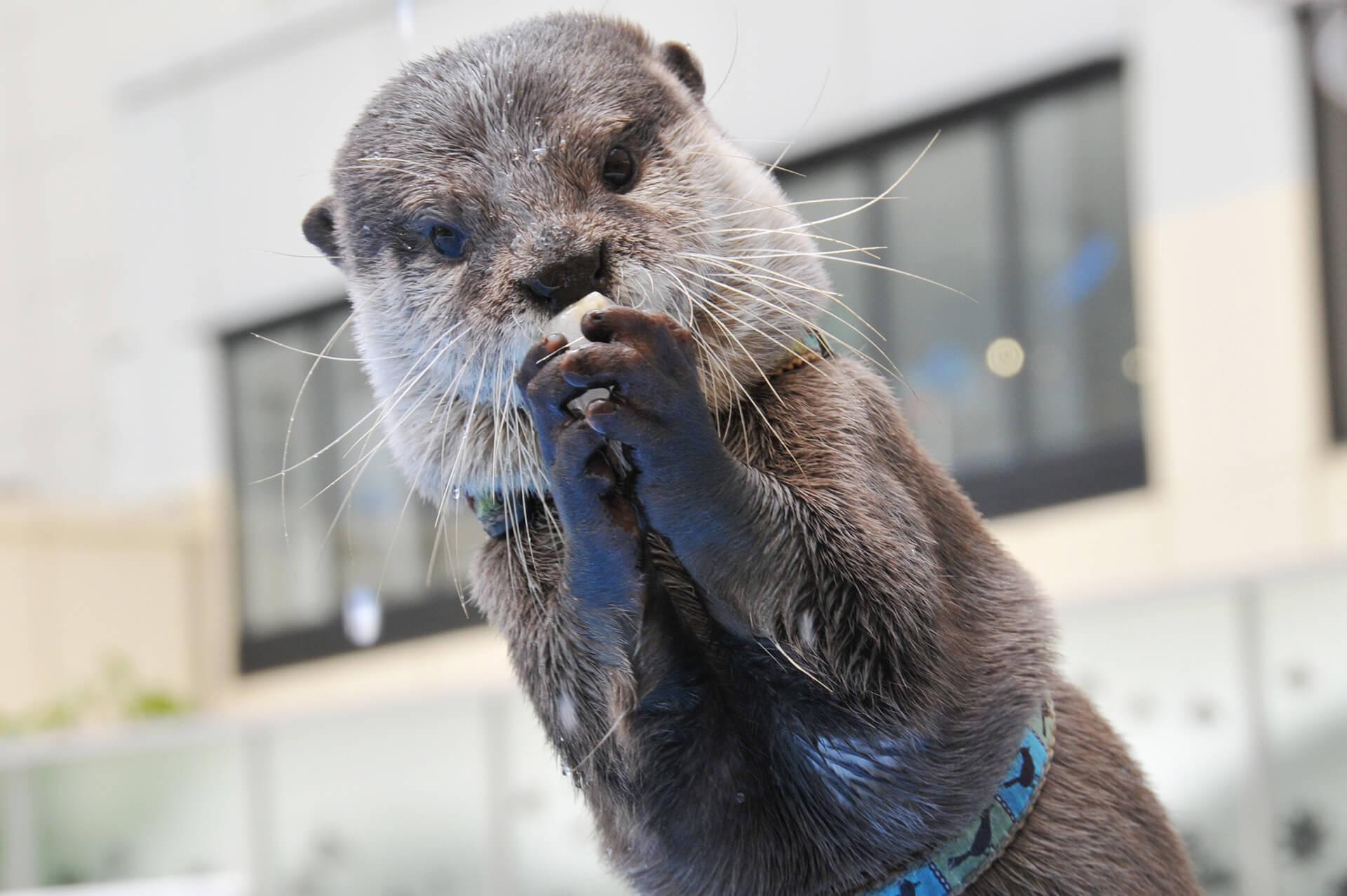 この写真はサンシャイン水族館 夏フェス2019のカワウソ・グリーティングタイムの様子、カワウソが氷を持っています
