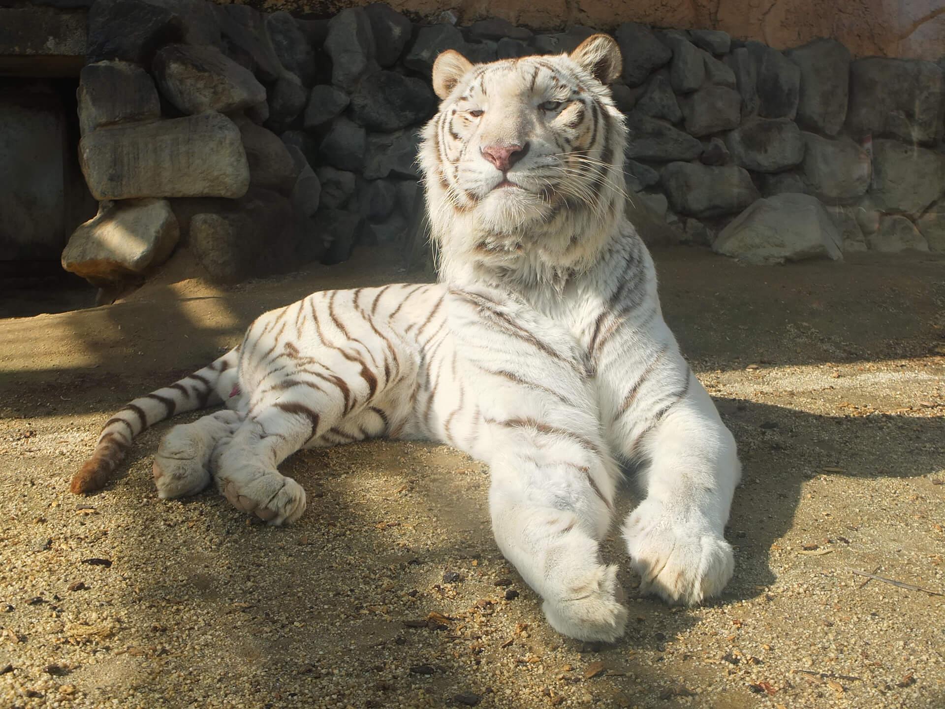 浦和レッズと東武動物公園のコラボチケットの、動物園側のイメージ。ホワイトタイガーがかしこまっている様子