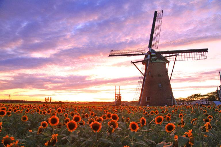 この写真は風車のひまわりガーデンのメインビジュアル。夕日に風車と満開のひまわりが。