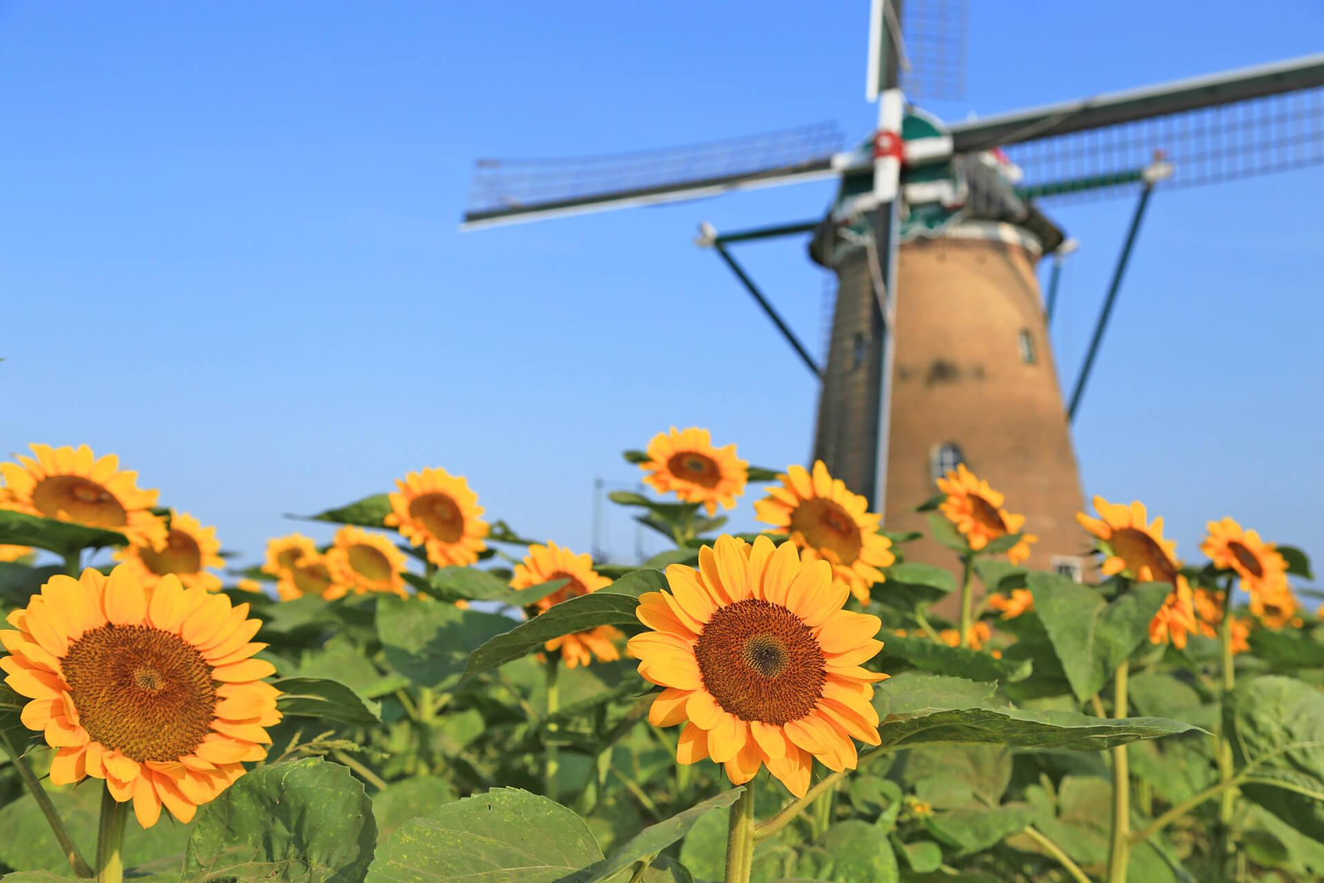 この写真は風車のひまわりガーデンのメインビジュアル。風車と満開のひまわりが。
