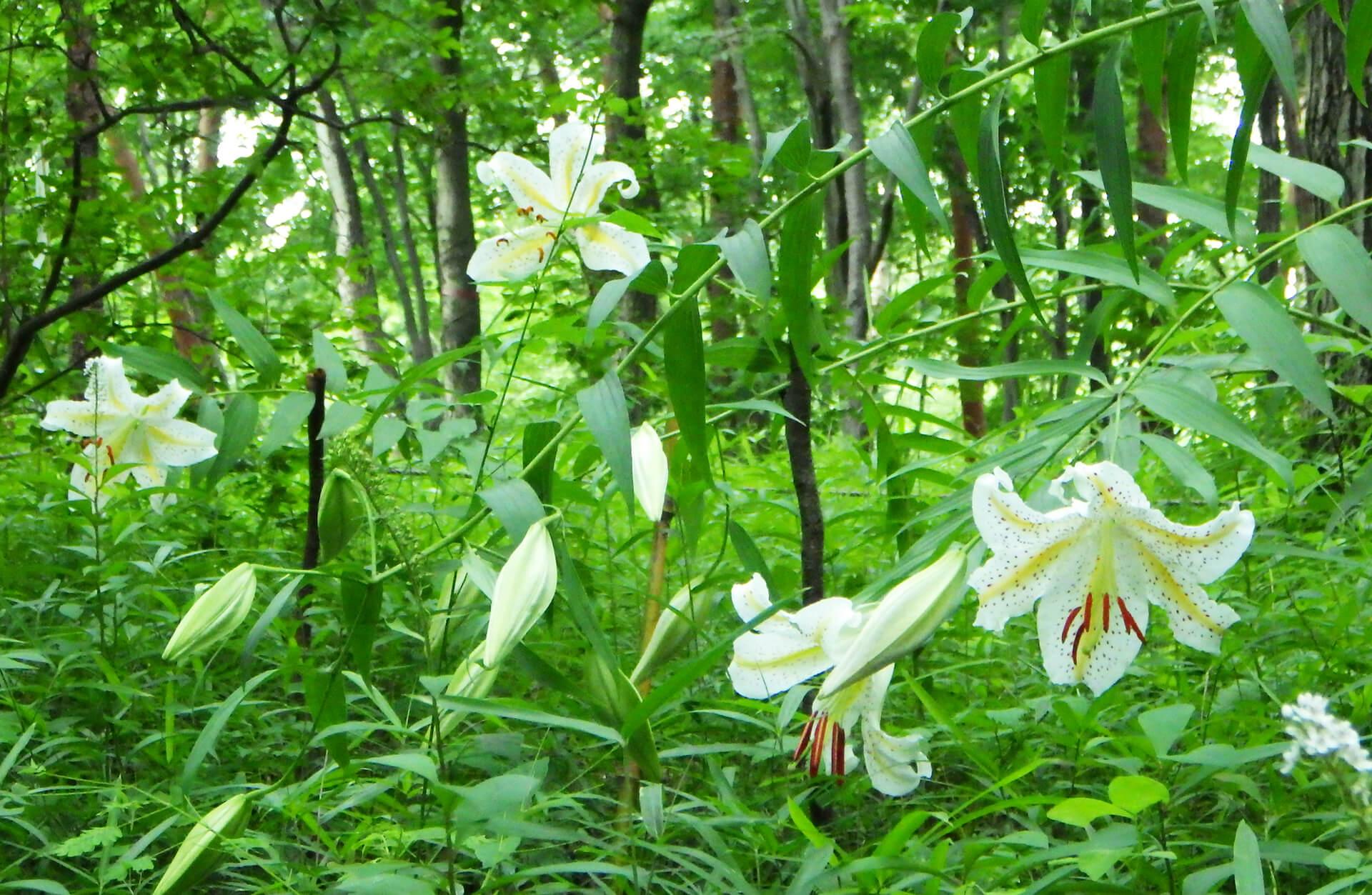 この写真は国営武蔵丘陵森林公園のヤマユリが咲き乱れる様子