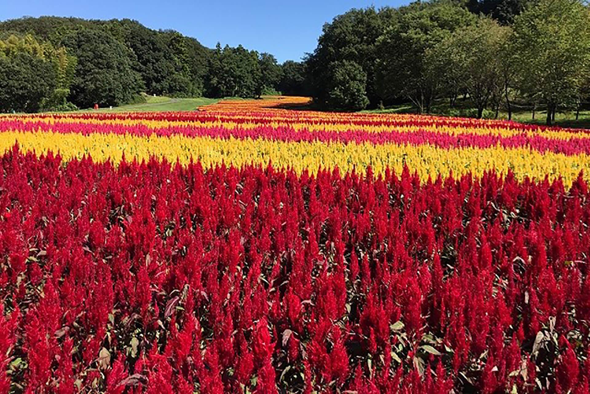 この写真は国営武蔵丘陵森林公園で「ケイトウ」が咲き乱れる様子