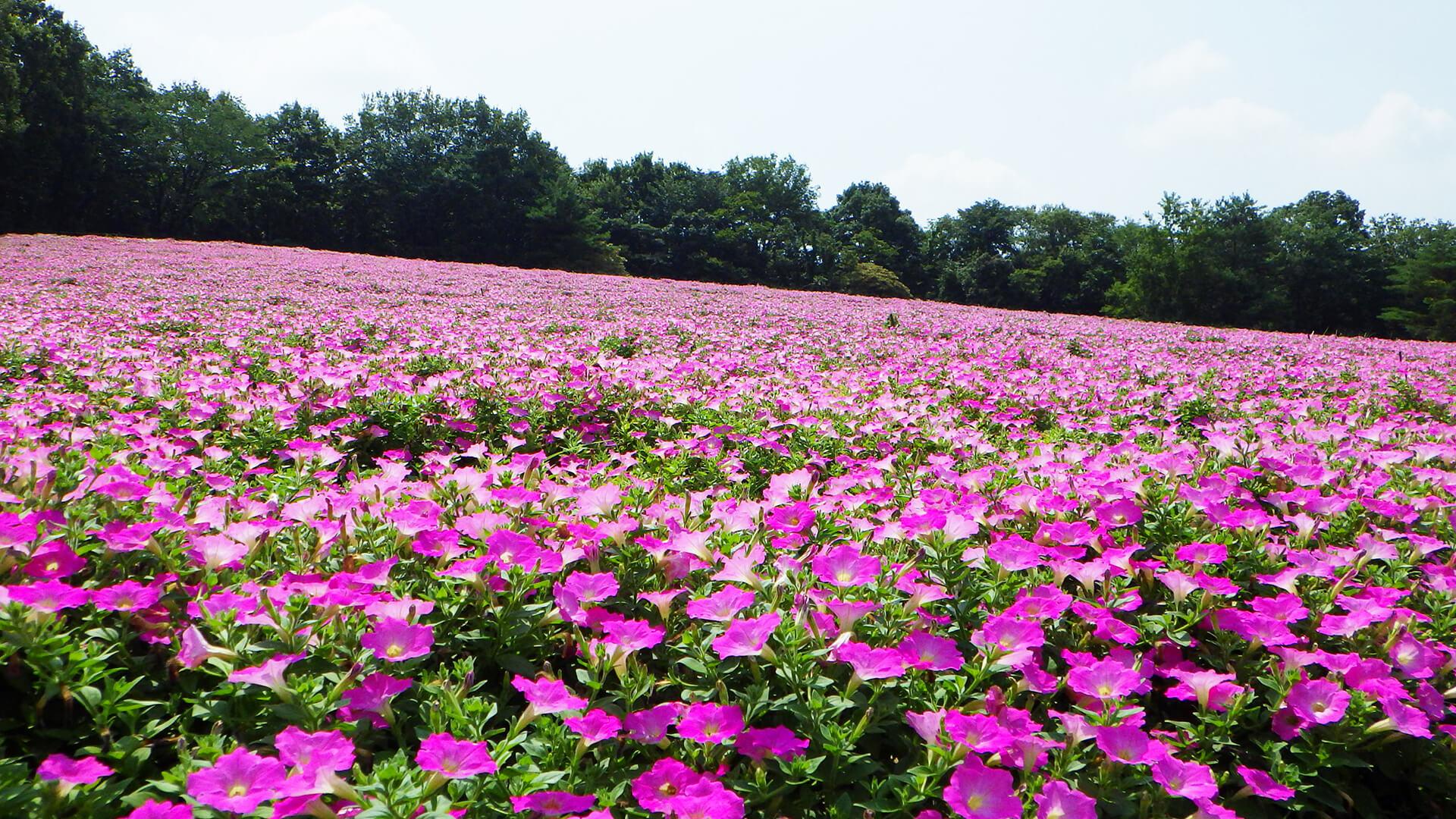 この写真は国営武蔵丘陵森林公園で咲く、約1万株の「ペチュニア」の様子・一面満開です