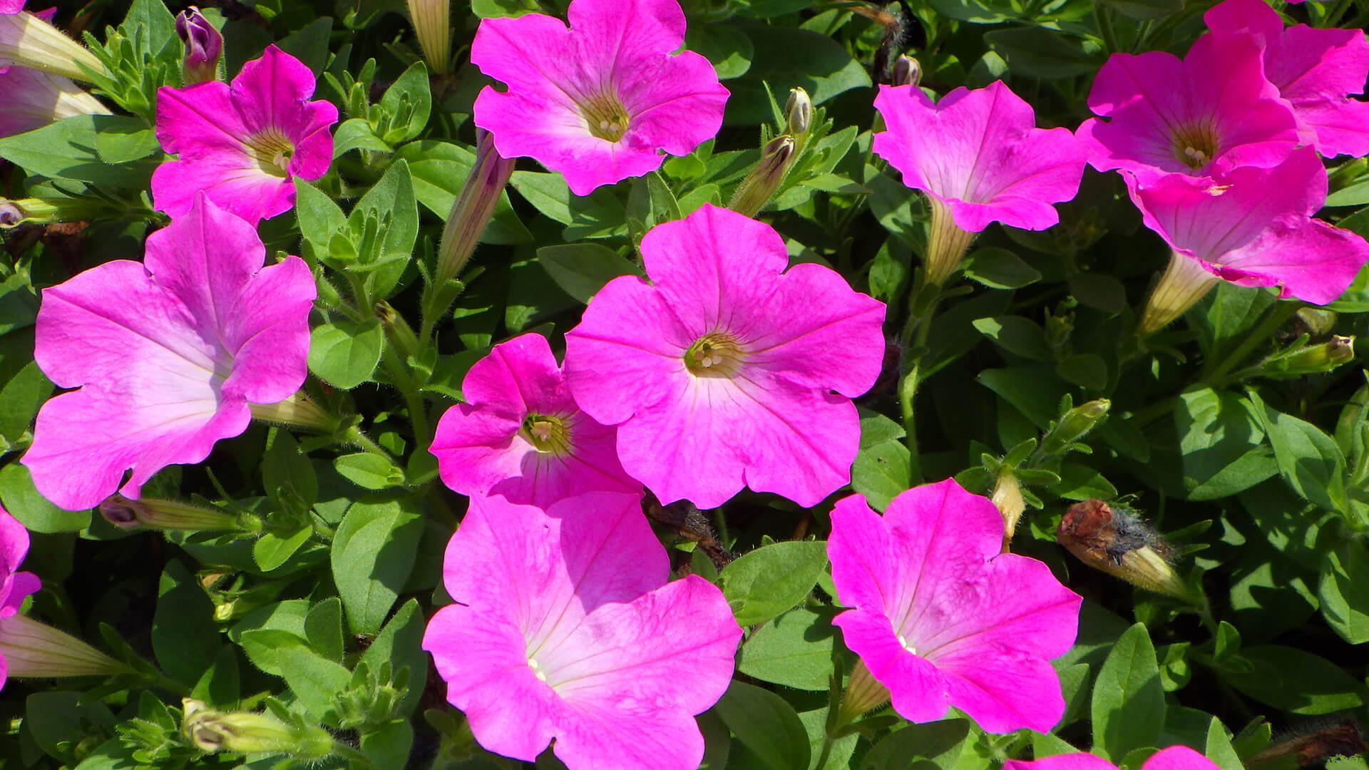 この写真は国営武蔵丘陵森林公園で咲く、ピンク色のペチュニアの拡大撮影