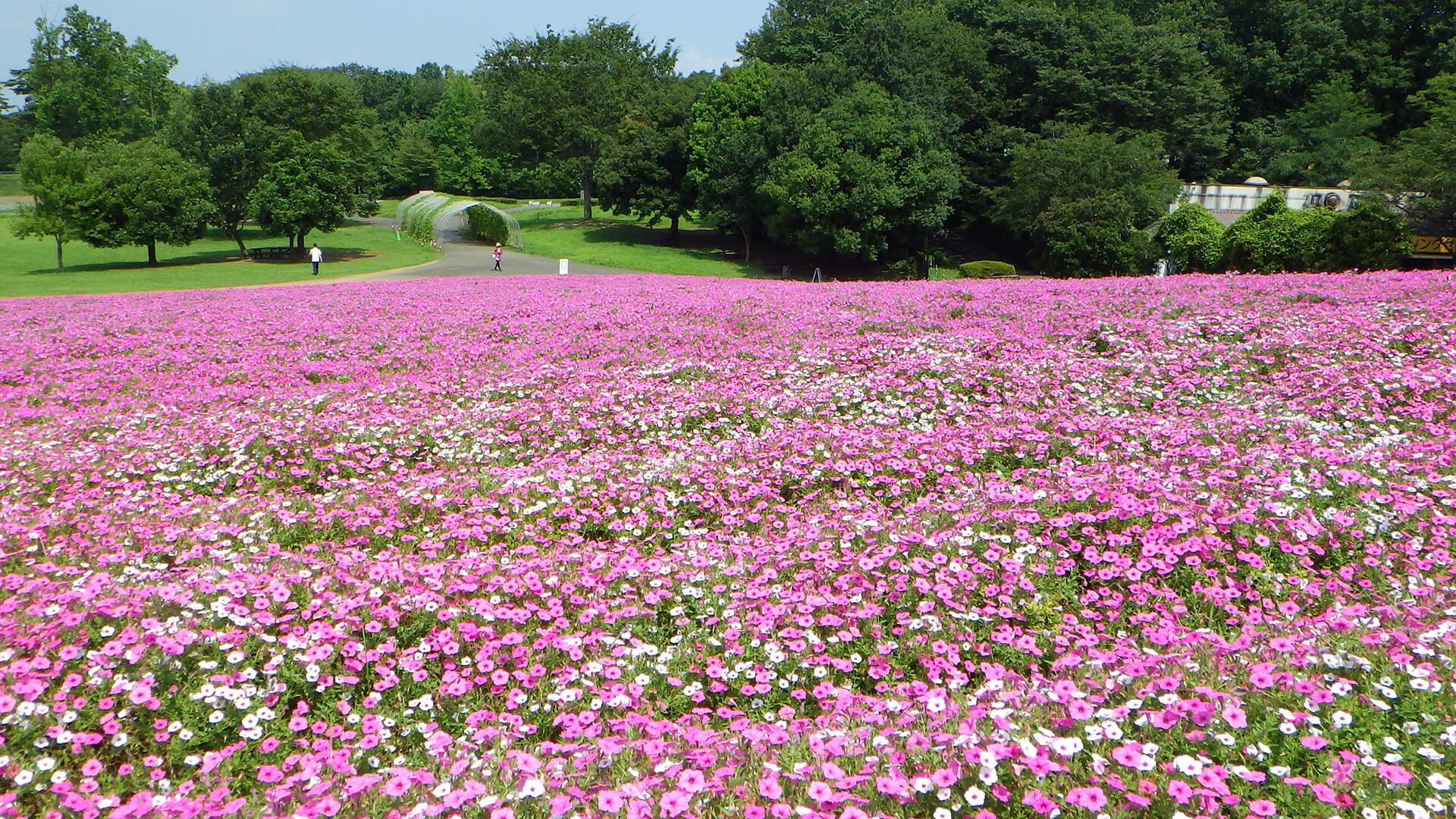 この写真は国営武蔵丘陵森林公園がピンク色のペチュニアで満開になっている状態。花の絨毯のよう
