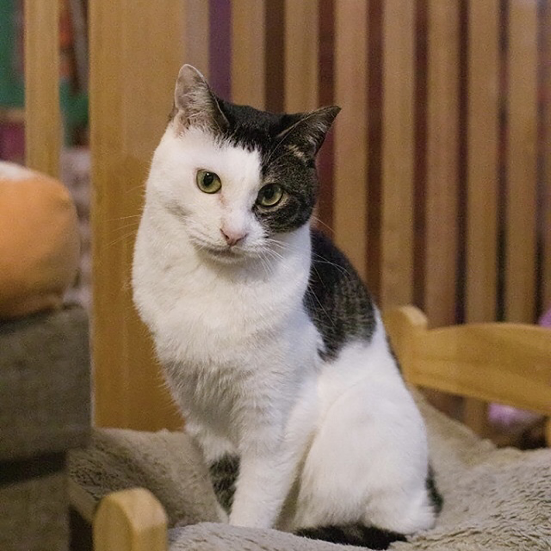 保護猫譲渡会の猫