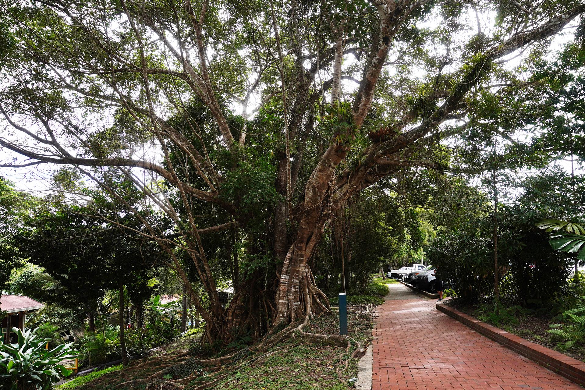 キュランダ街路樹