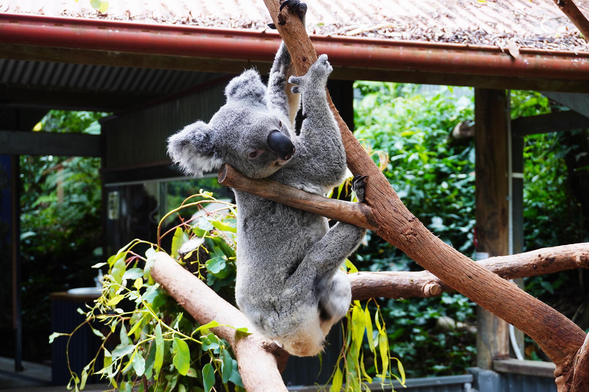 キュランダ動物園内コアラ