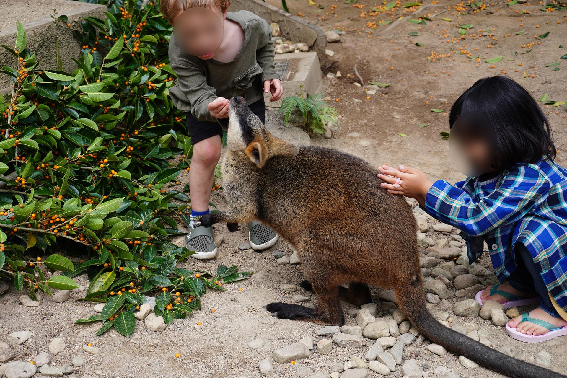 キュランダ動物園内ワラビー