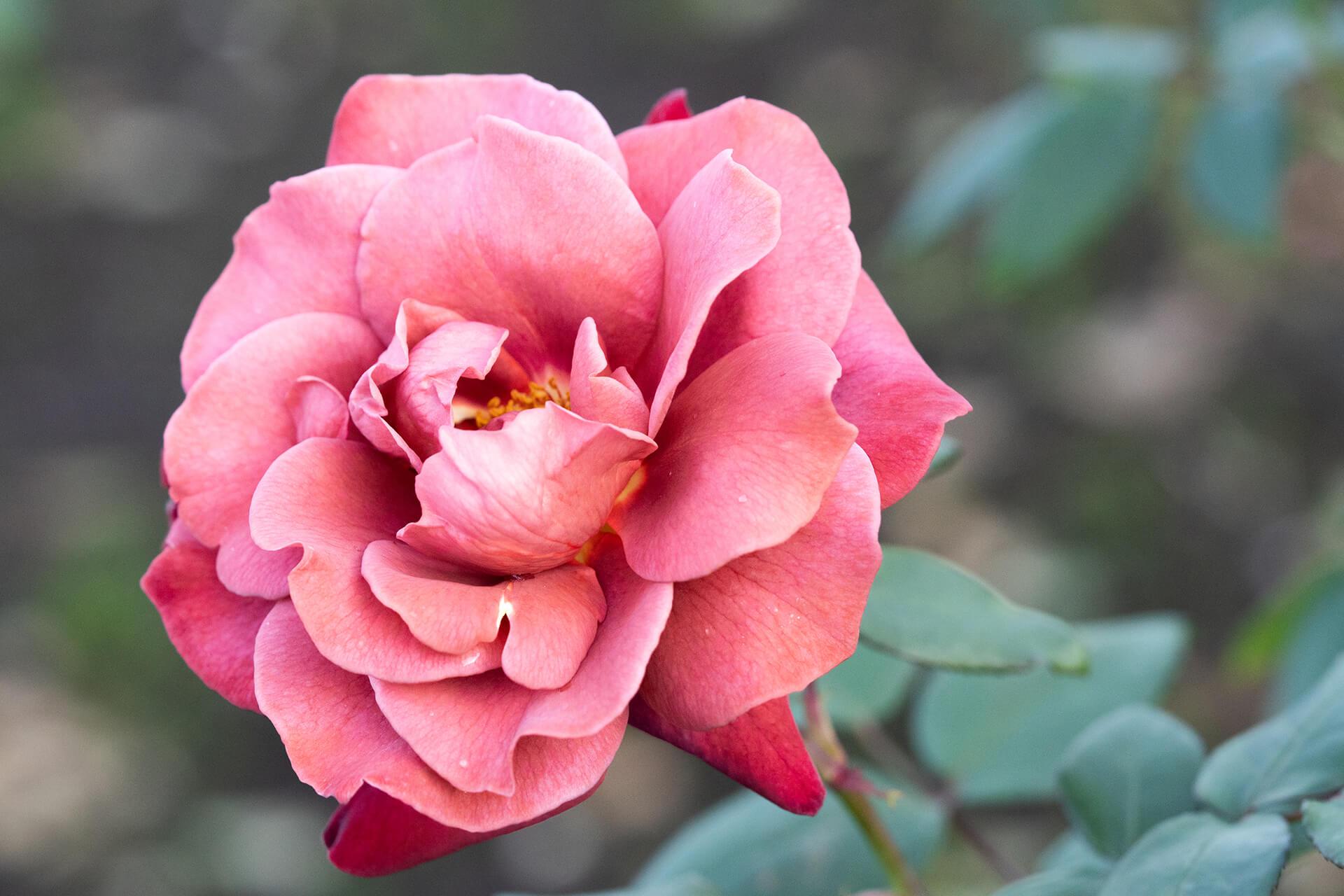神代植物公園バラ