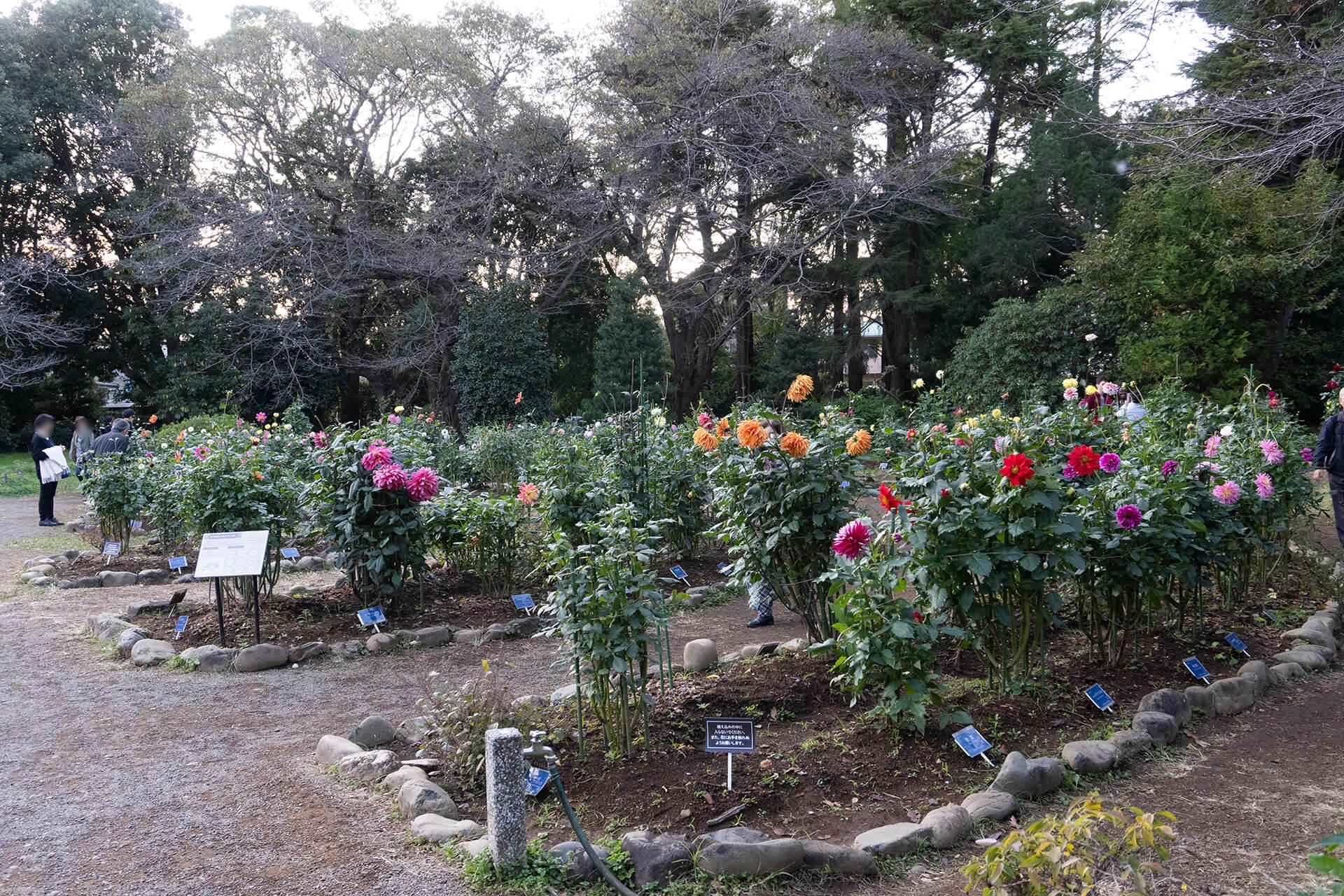 神代植物公園ダリア