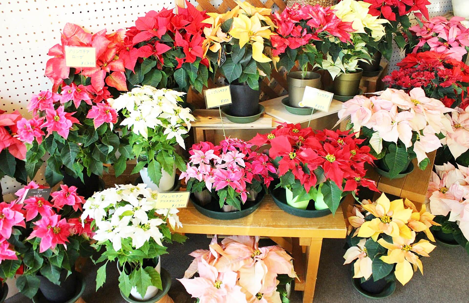 板橋区立熱帯環境植物館クリスマス・フラワーガーデン