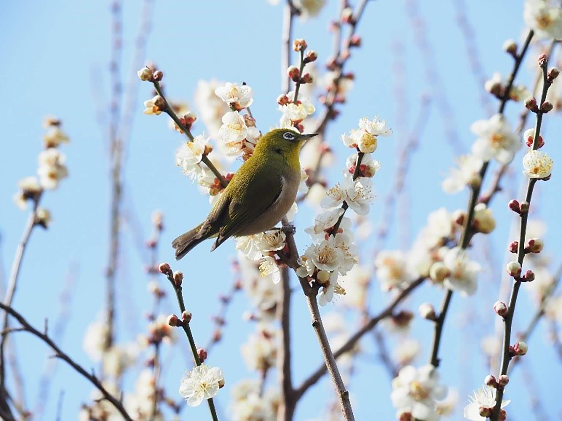 京王百草園「梅まつり」