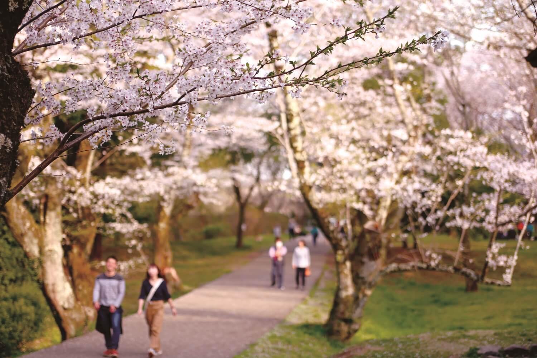 桜に染まるまち、 佐倉・桜