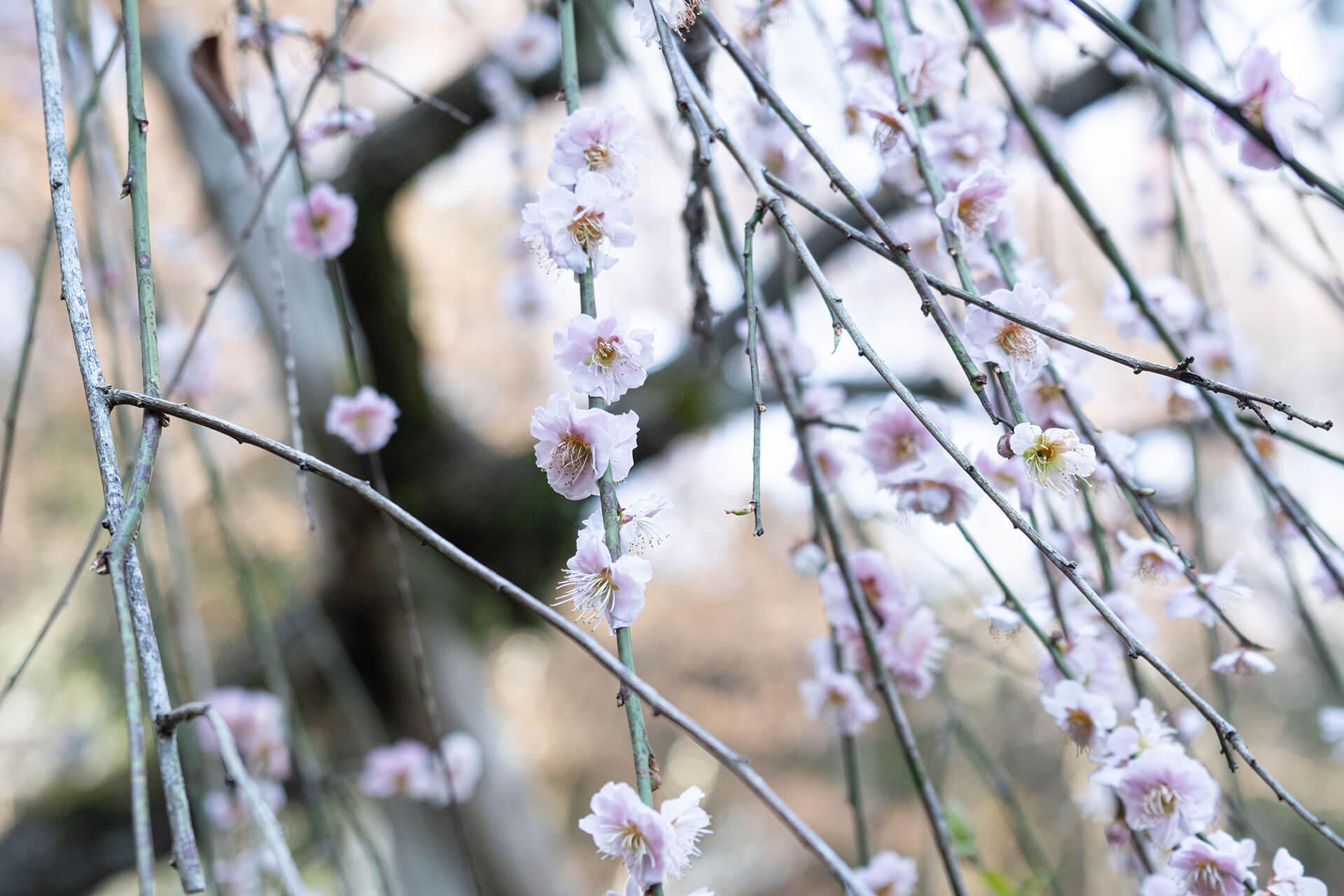 京王百草園・梅まつり