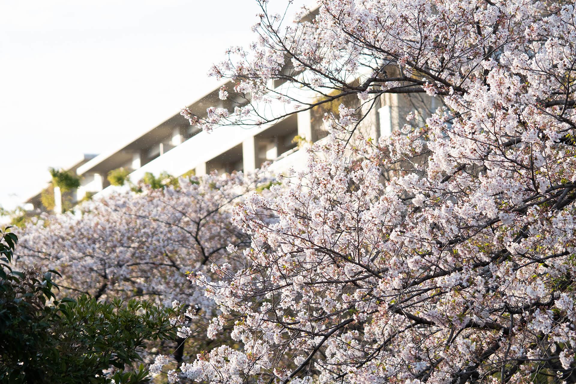 調布桜堤通り・桜