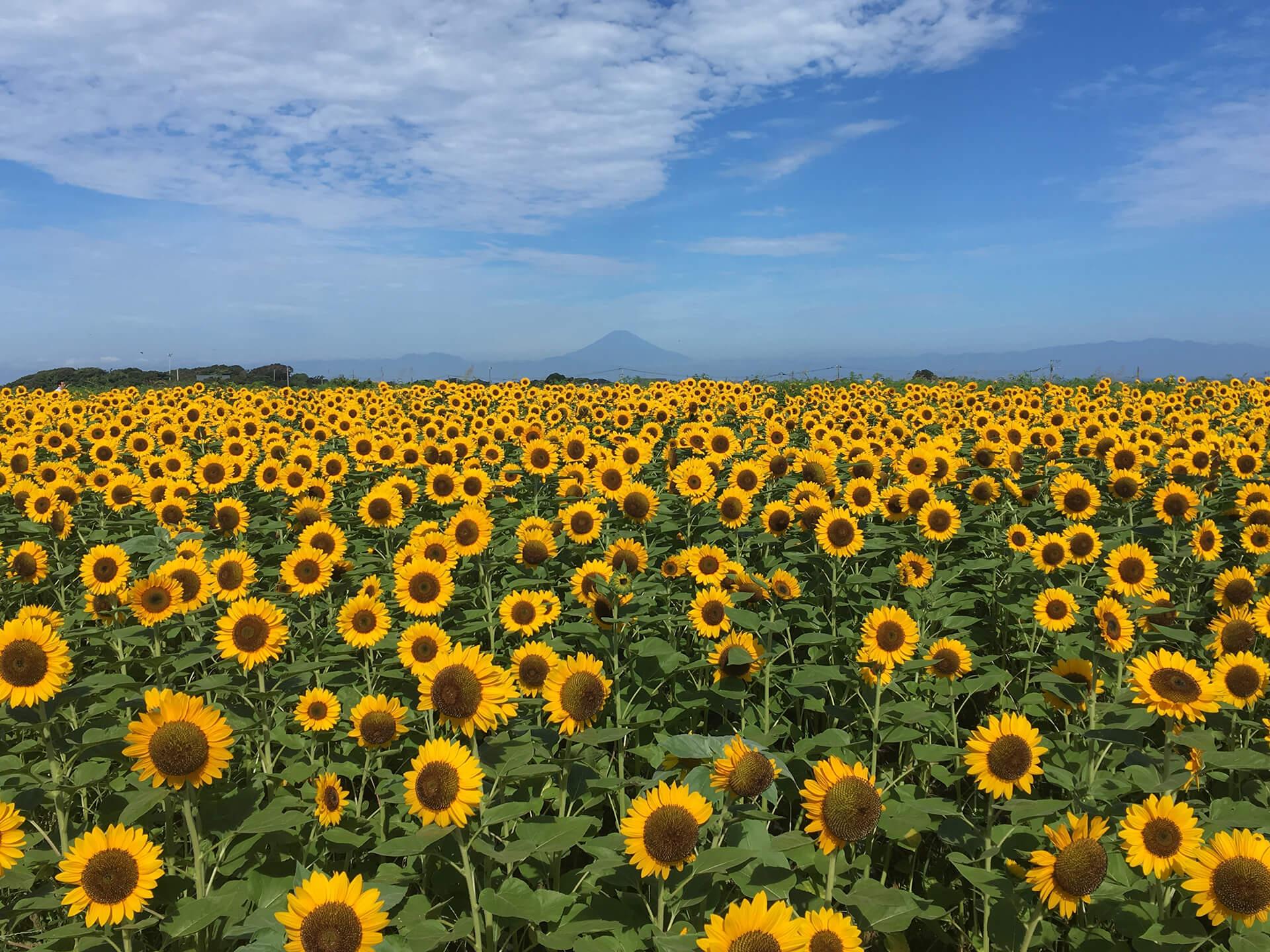 横須賀市長井海の手公園 ソレイユの丘 ひまわり