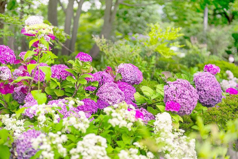 ミッドタウン・ガーデンと紫陽花を知るガイドツアー