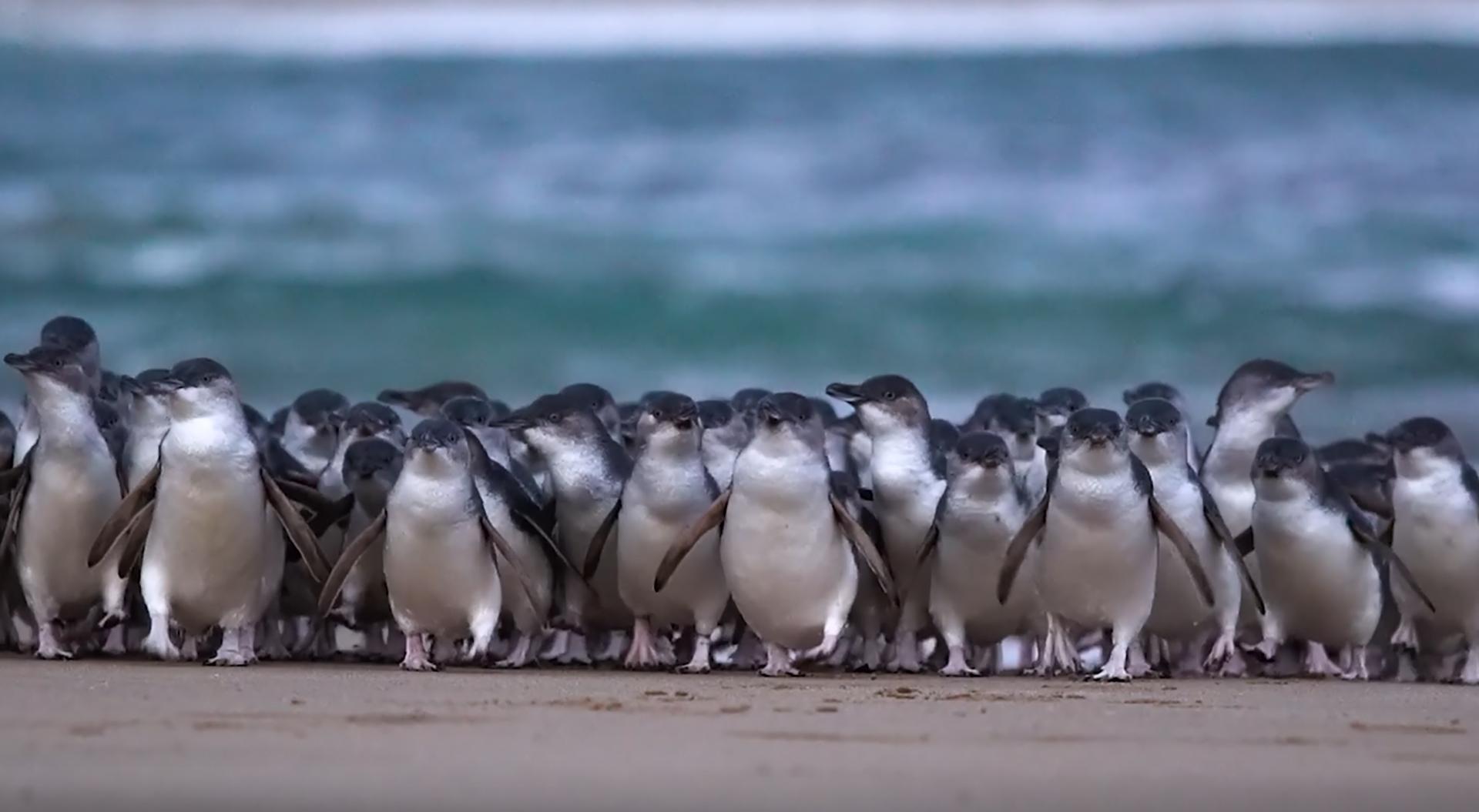 ペンギンパレード生配信