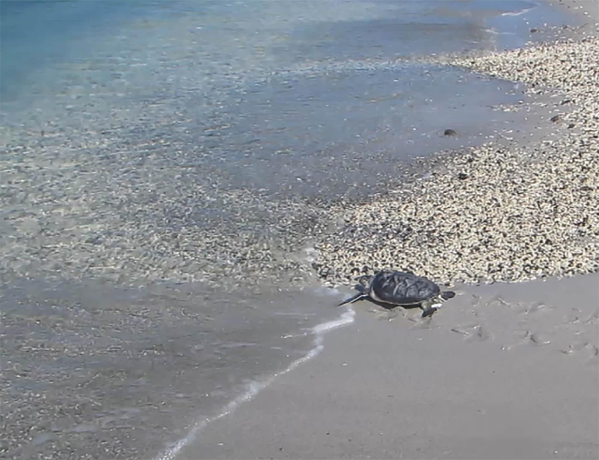 【すみだ水族館】アオウミガメの赤ちゃん
