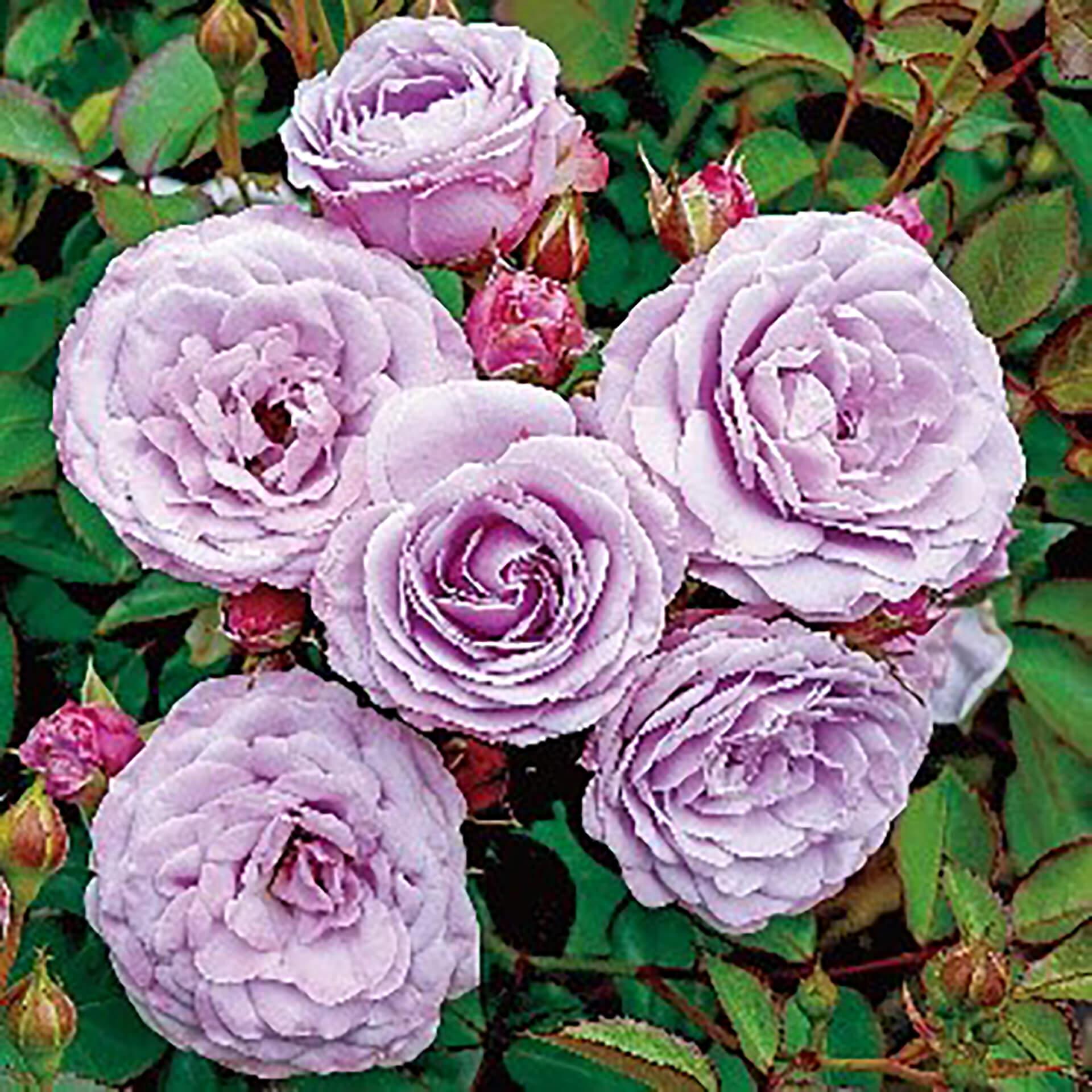 京成バラ園「スプリングフェスティバル It's so in Bloom!」