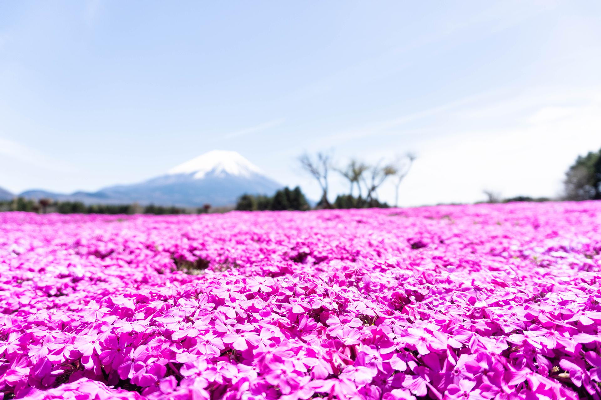 芝桜・富士山周辺観光ツアー・富士急行