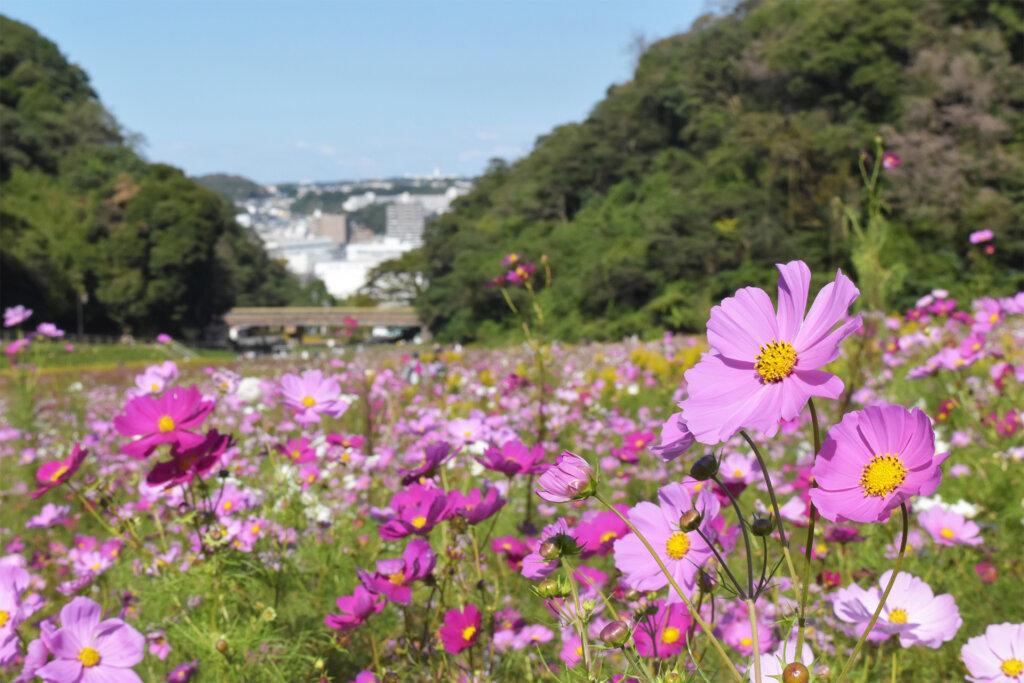 横須賀市くりはま花の国 コスモス